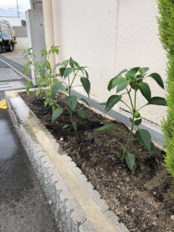 2021/06/13 花壇の花を植え替えました